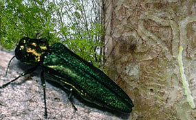 emerald-ash-borer-illinois-arborist-association